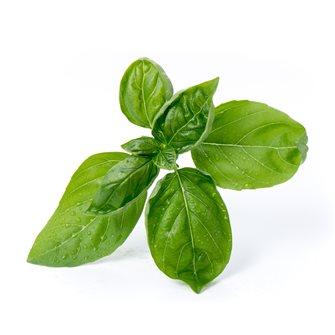 Basilic grand vert recharge Lingot pour potager Véritable