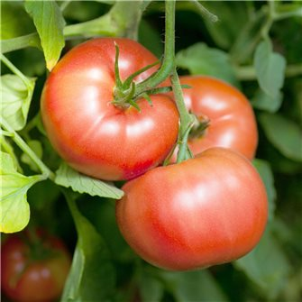 Graines de tomate Reine des Hâtives